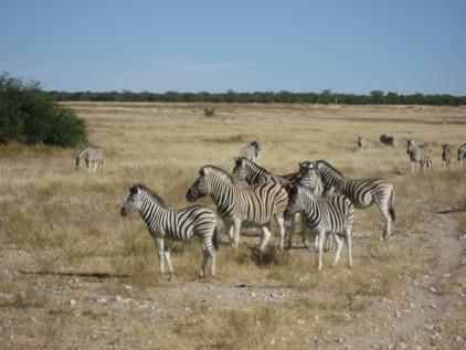 Centenas de zebras