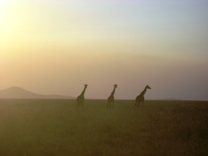 O por do sol e as Girafas