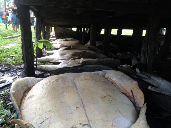 Mais de 15 tartarugas gigantes