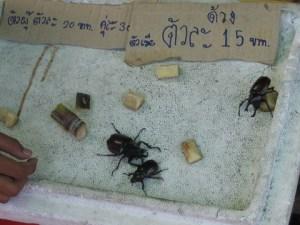 Brigas de besouros em um mercado. Adoram apostar.