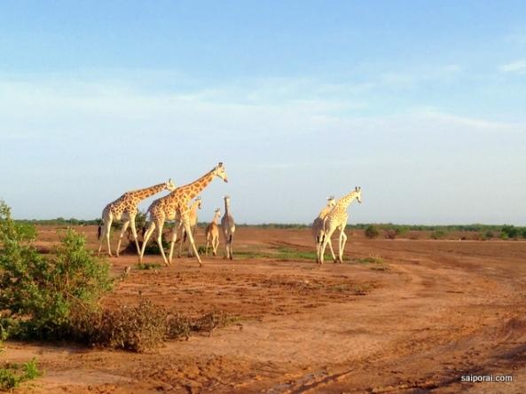 Girafas de Kouré